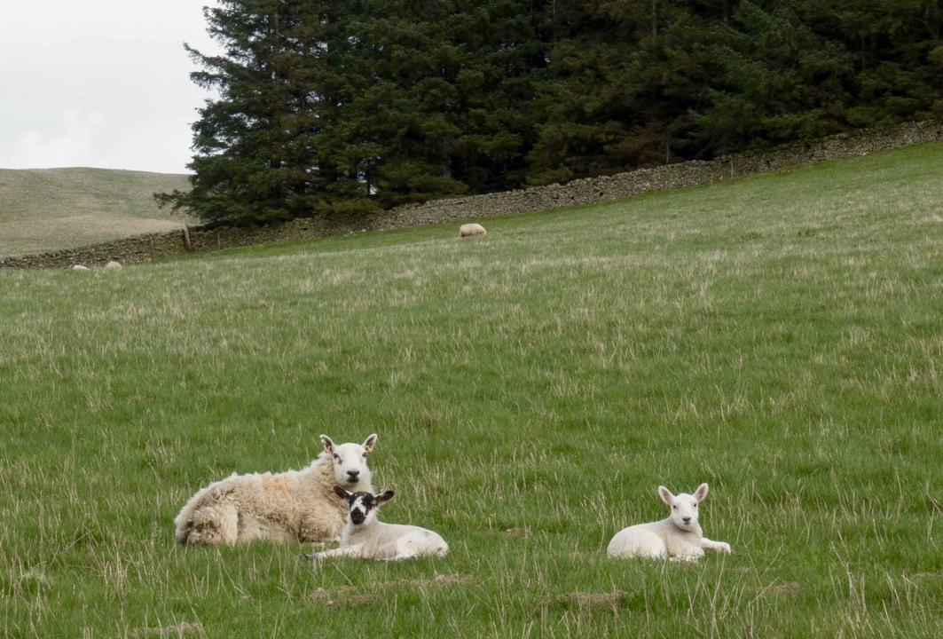 Mum with her two little lambs.